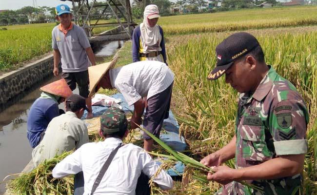 Babinsa Mojosari-Kepanjen Tebar Bibit Padi Kabir 7 asal Aceh