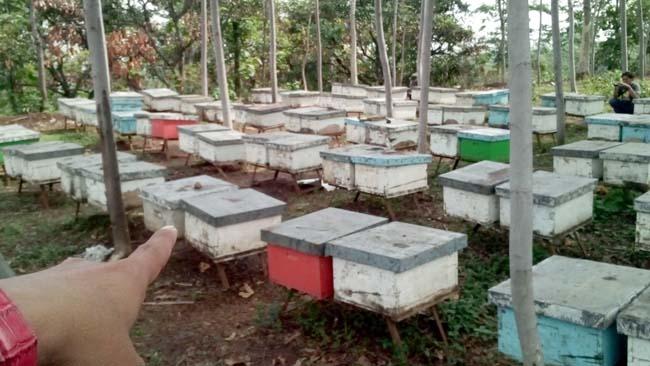 Tempat budi daya lebah madu. (pix)
