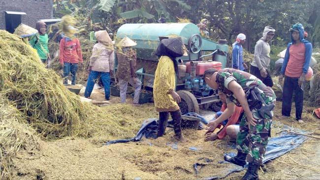 Wujudkan Swasembada Pangan, Koramil 081503 Sooko Lakukan Pendampingan Panen Padi