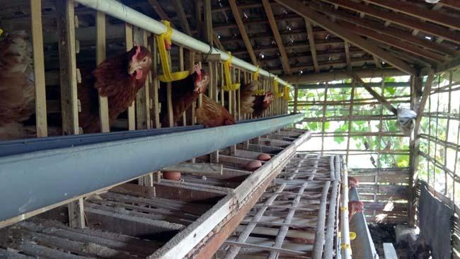 Sejumlah peternak ayam di Lamongan melakukan subtitusi dengan bahan lokal jagung dan dedak padi kurang biaya produksi akibat pakan ayam naik