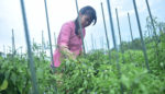 Bupati Fadeli Hadiri Panen Raya Cabai Besar di Sukorame, Takjub dengan Ketelatenan Petani Cabai